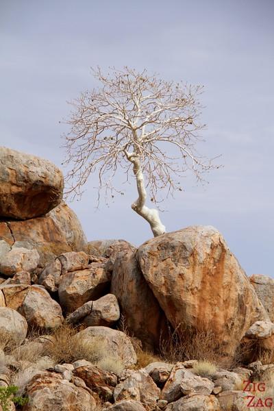 WHite tree Damaraland, namibia photo 2