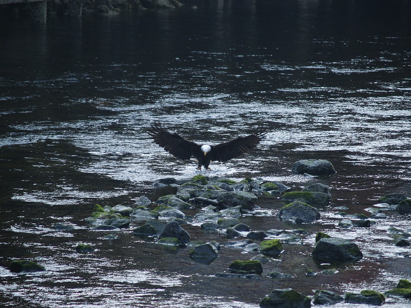 We went down to Creek Street and the haze and fog were just starting to burn off. We spotted this eagle in Ketchikan Creek, getting his breakfast. He is landing on a small fish, possibly a salmon from the hatchery up the creek, for his meal (2009).