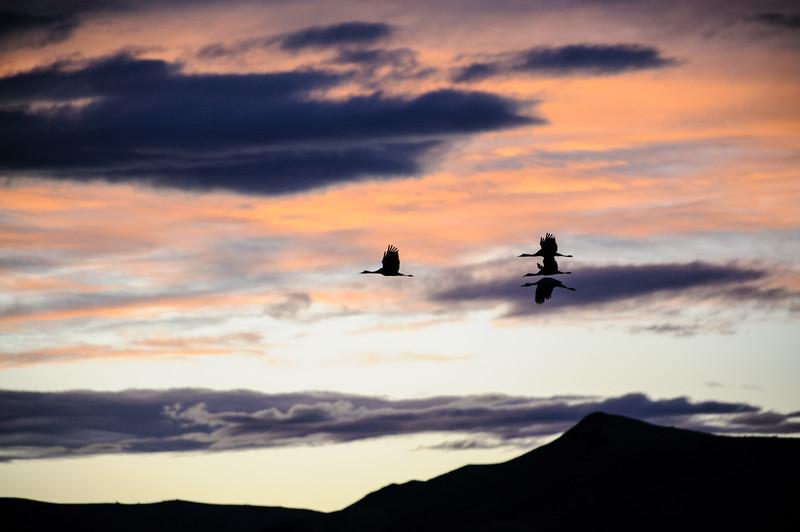 20111124 Bosque del Apache 527.jpg