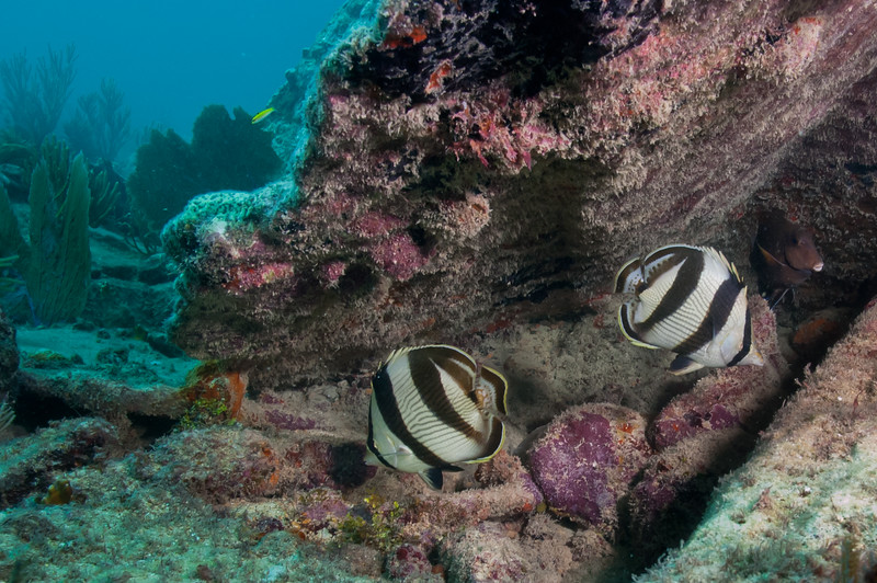 Banded butterflyfish in a crevice in the Lugano wreck, Biscayne National Park