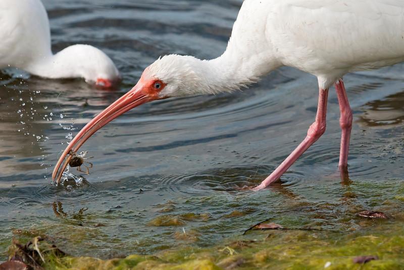 Ibis - White - Ding Darling NWR - Sanibel, FL - 03
