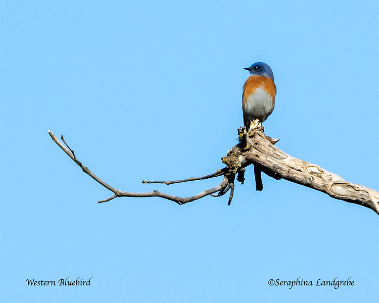 _DSC3932Western Bluebird LIMB 500.jpg