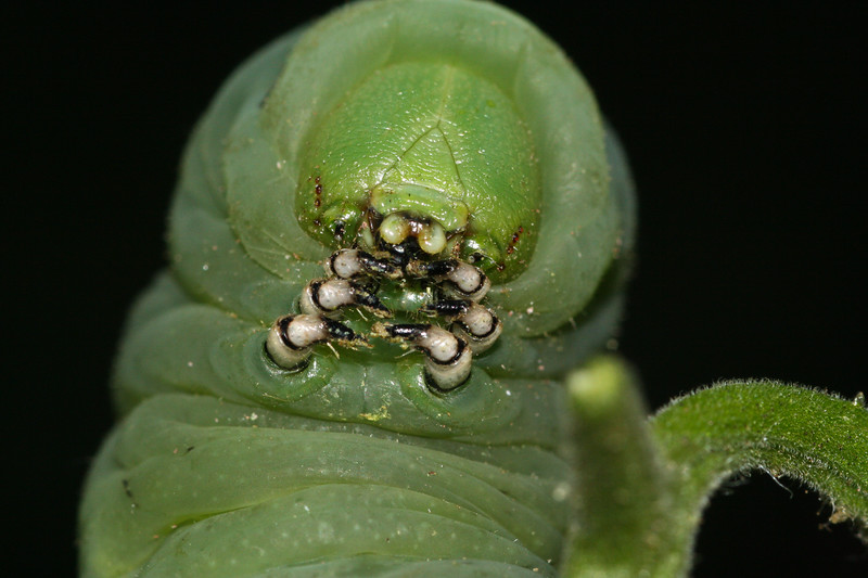 Tobacco Hornworm caterpillar (Manduca sexta) from Iowa.
