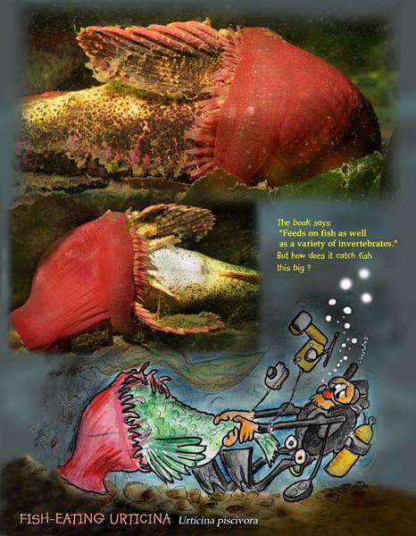 Fish -eating anemone S.jpg