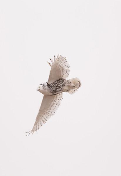 Snowy owl in flight, near Harris, SK, November 2015