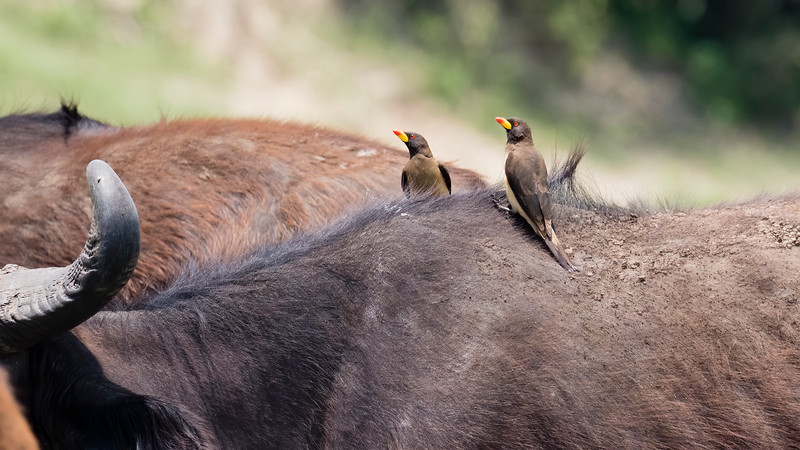 Yellow-billed Oxpecker on African Buffalo