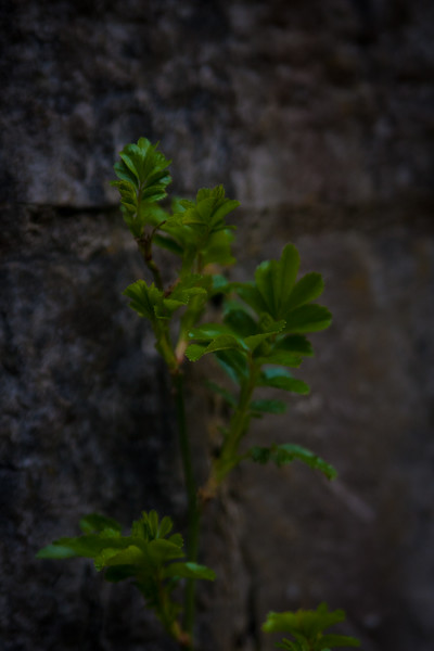 Irish Flora