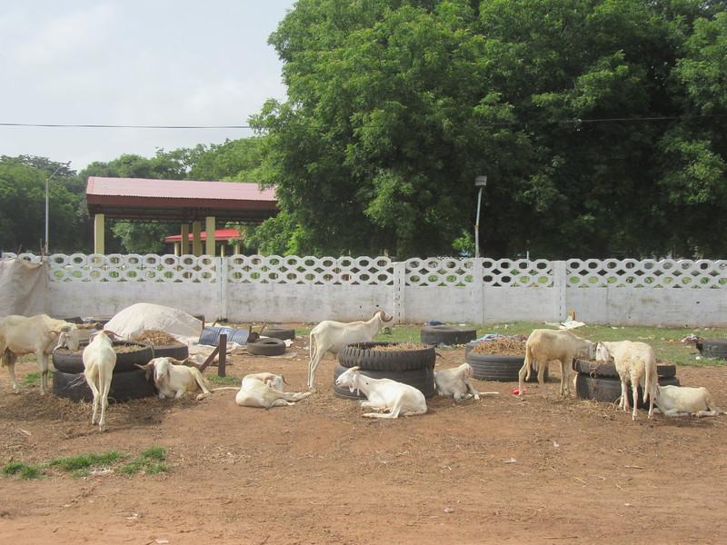 034_Banjul. Livestock.JPG