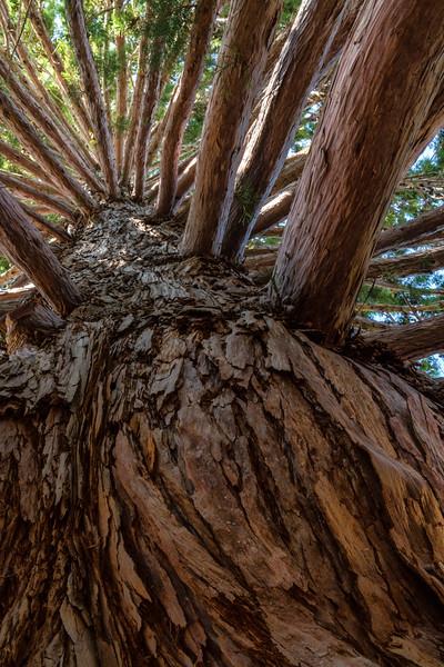 Forest Portrait: Giant Sequaoi | Mt. Palomar, California