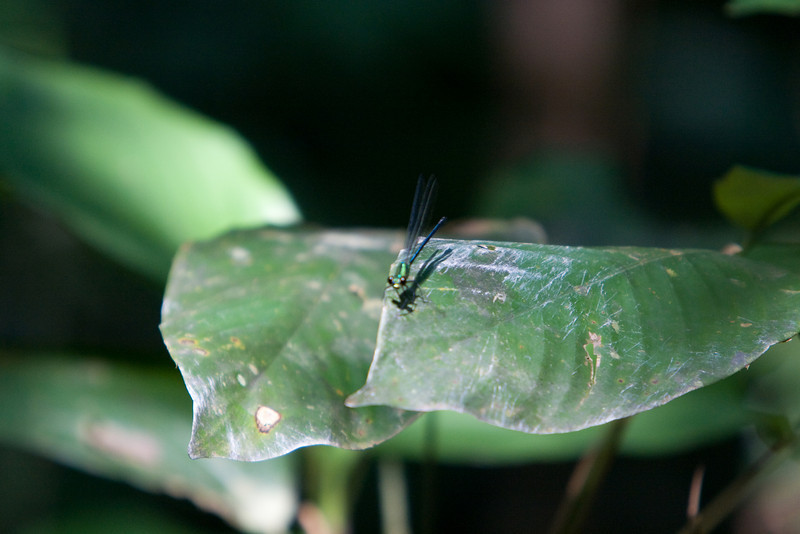 Dragon Fly at Mikongo.