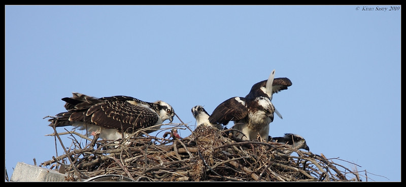 Osprey family with 2 adults and 2 juveniles, Robb Field, San Diego River, San Diego County, California, May 2010