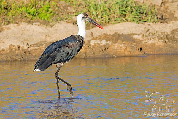 Birds of Southern Africa ~ 2017