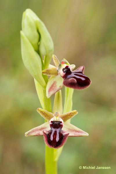 Ophrys incubacea × sipontensis