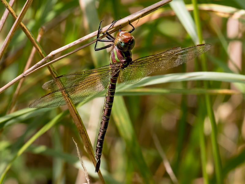 Female, Lum's Pond SP