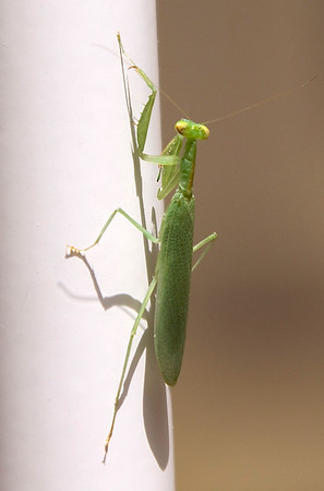Un-identified mantis