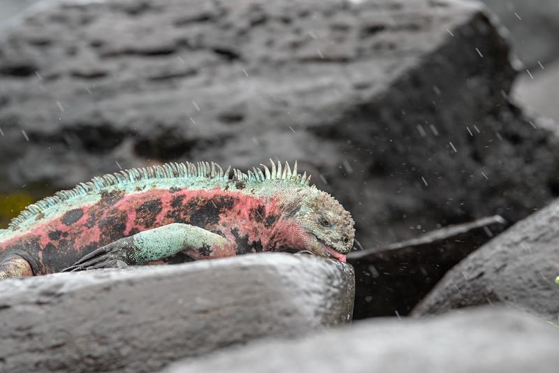 thirsty iguana