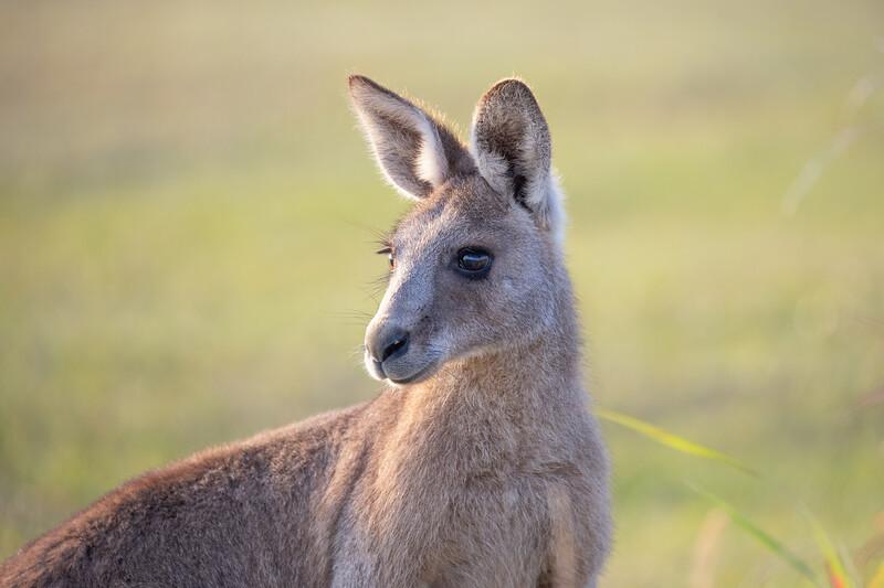 Eastern grey kangaroo, Sunshine Coast