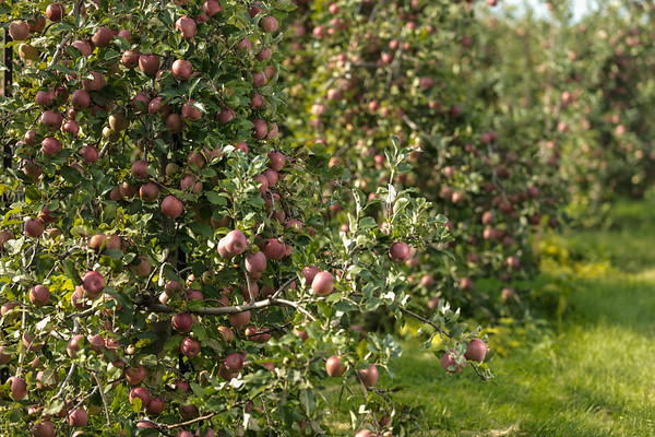 Orchard-Fall