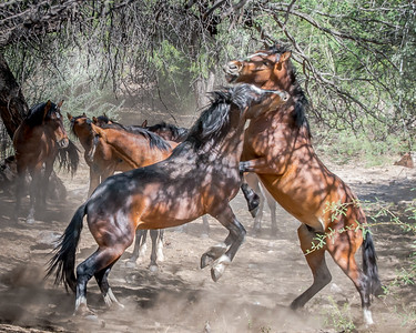 Salt River Horses April 2016