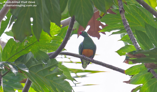 Knob-billed Fruit Dove Ptilinopus insolitus