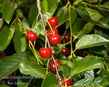 Early Richmond Cherry - Prunus cerasus sp.