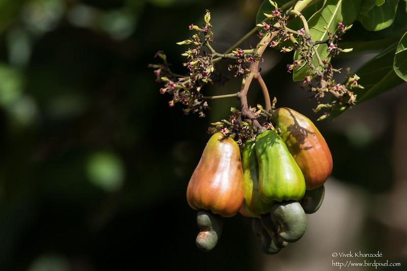 Cashew Fruit - Gilpin Trace, Tobago