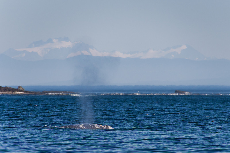 "Gray whale in front of ""Chez Monique"""