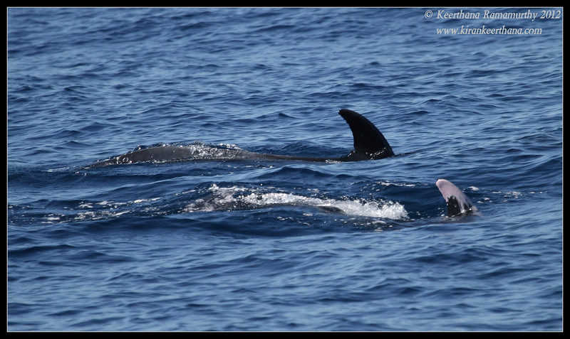 """Pacific Bottlenose Dolphin pod with half-albino dolphin """"Patches"""", Whale Watching trip, San Diego County, California, November 2012"""