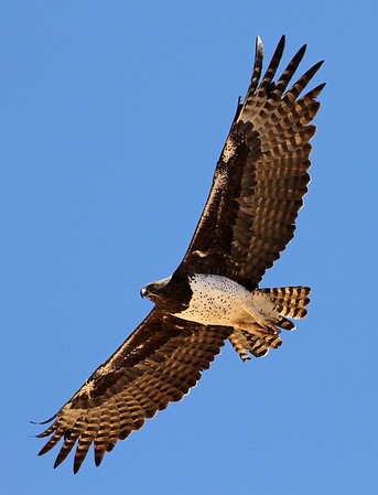 Birds of Prey (Accipitridae)