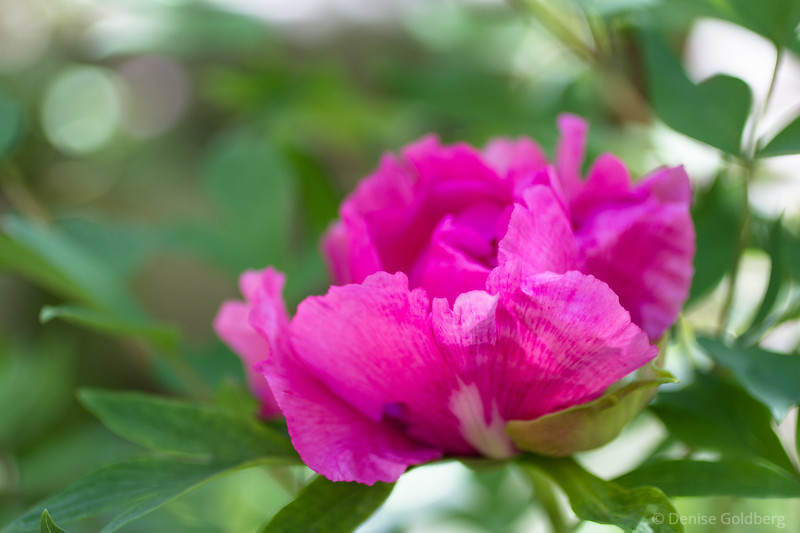peony in bright pink