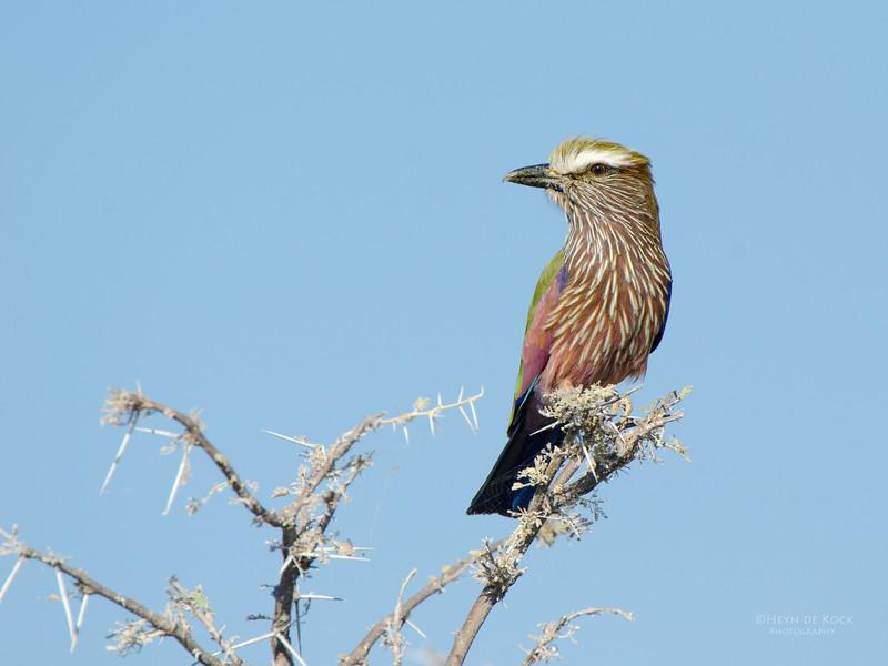 Purple Roller, Etosha, Namibia, Jul 2011-1.jpg