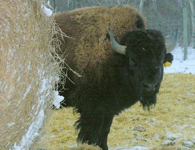 Bison Winter Feedlot