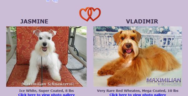 Jasmine & Vladimir Puppies, DOB 8/20/2018