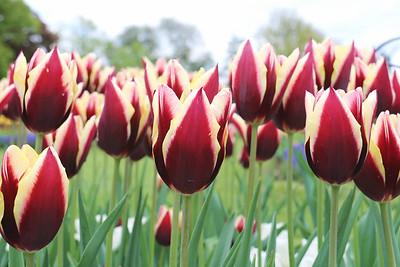 Albany Tulips 2017