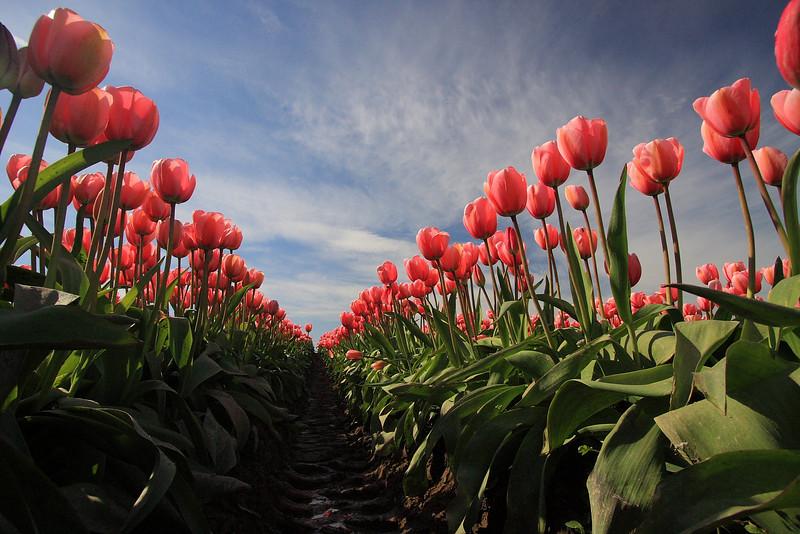 Tulips 08  16.JPG