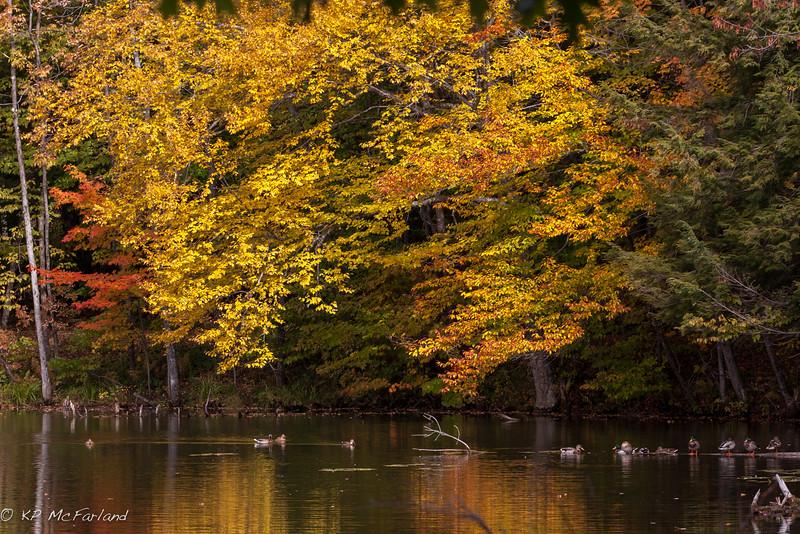 Mallard in Fall