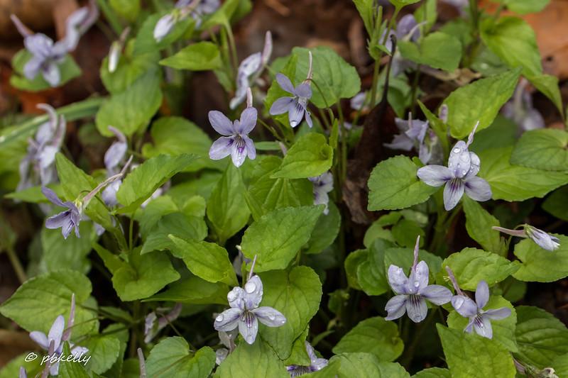 long spur violet 042917.jpg