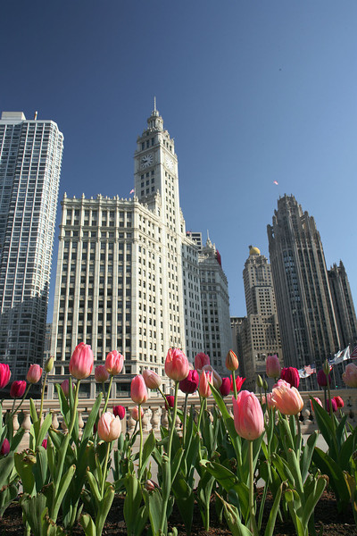 Pink tulips and Wrigley Building