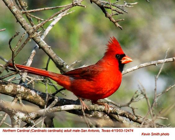 Northern Cardinal M12474.jpg