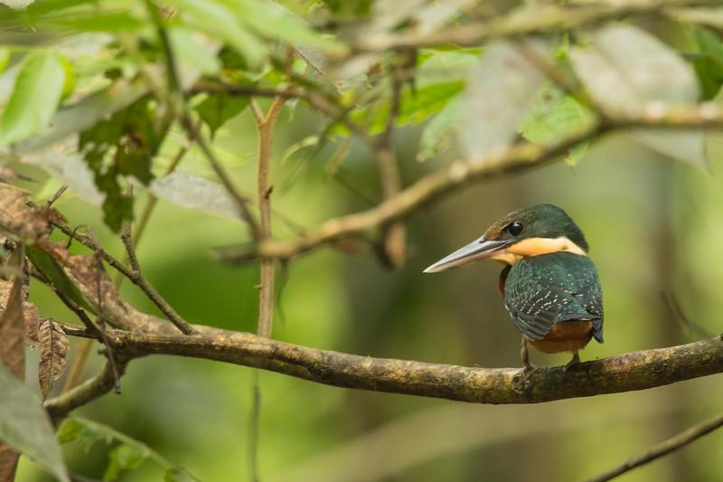 American Pygmy Kingfisher - Record - Amazon, Ecuador