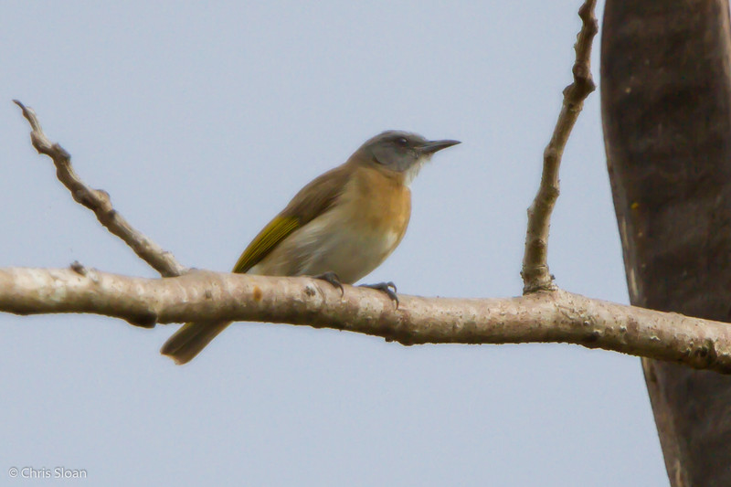 Rufous-banded Honeyeater at Pacific Adventist University, Port Moresby, Papua New Guinea (09-29-2013) 009-395.jpg