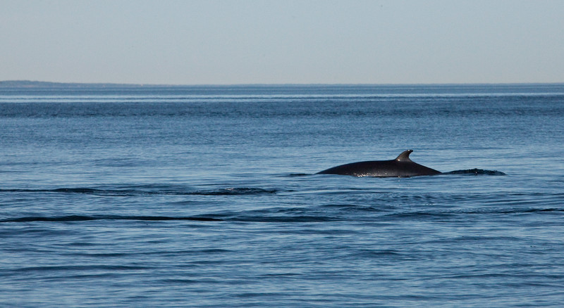 2011 quebec whale watching (17 of 80).jpg