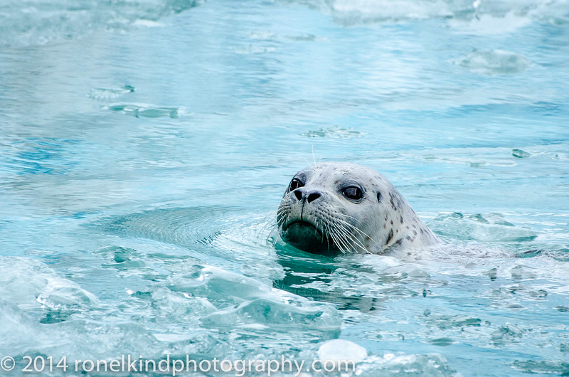 Baby seals are born weighing about 25 pounds. They double their weight in the first month; their mother's milk is 40 percent fat. A mother leaves its pup after the first month to finish growing and fend for itself. Mothers do not teach pups to hunt; they learn on their own.