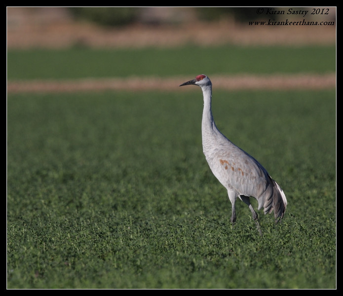 Sandhill Crane, Cibola National Wildlife Refuge, Arizona, November 2012