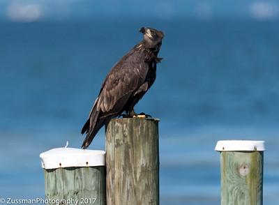 Bald Eagle - Fledgings