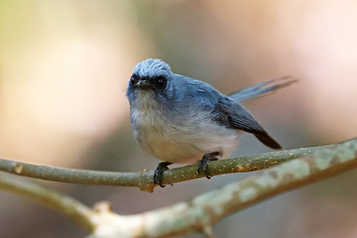 African Blue-flycatcher