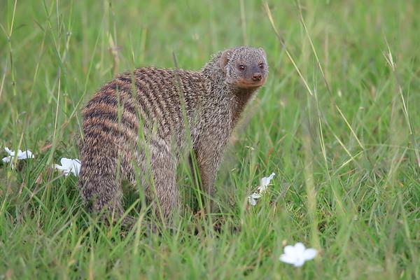 Banded Mongoose Mara Kenya 2018