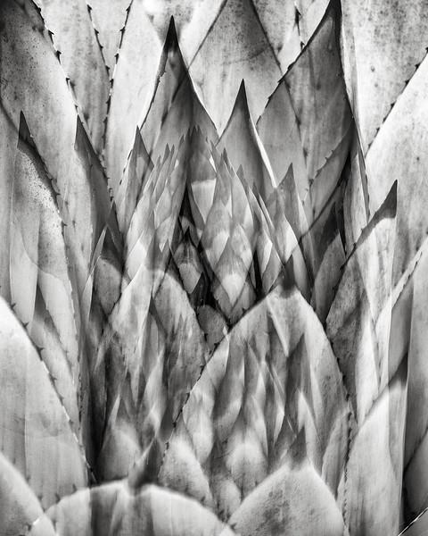 agave multiple exposure