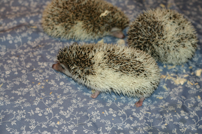 Hedgehog Babies (07/02/2005)  New Pinto babies join the herd  Filename reference: 20050702-010326-HAH-Hedgehog_Babies-SM
