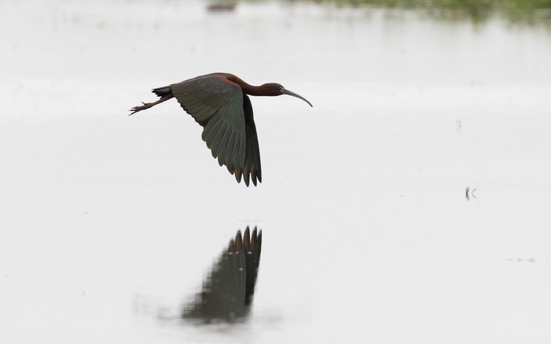 zwarte ibis, glossy ibis